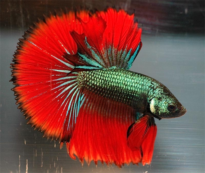 рыба петушок красно-зеленый окрас