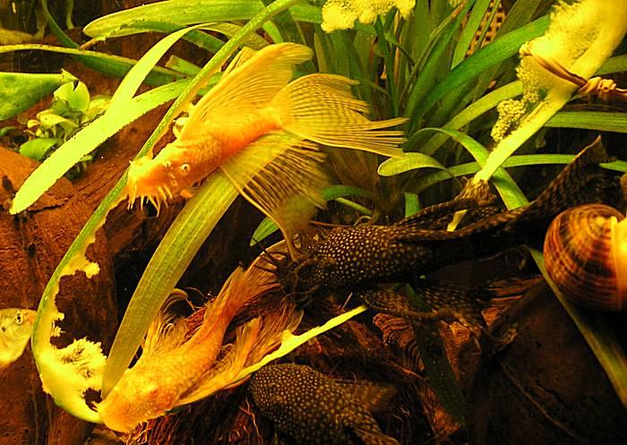 анцитрусы в аквариуме