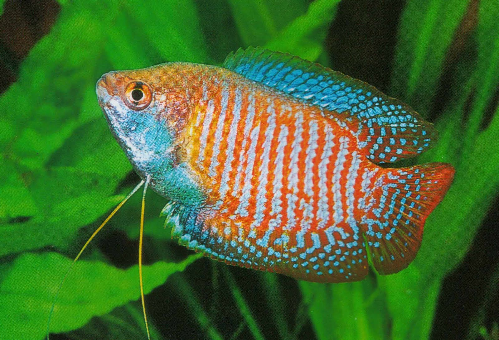 akvariumnaya-rybka-lyalius-otzyvy-1477901170