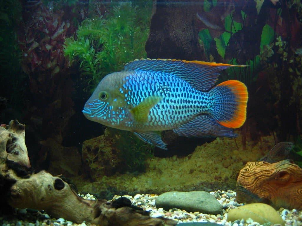 akara-blue